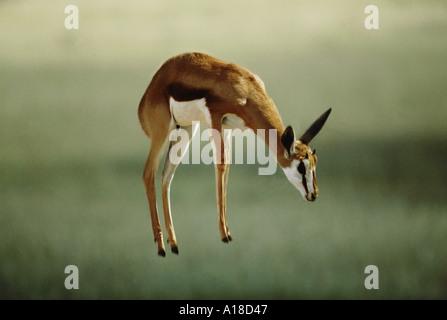 Springbok pronking Kalahari National Park South Africa - Stock Photo
