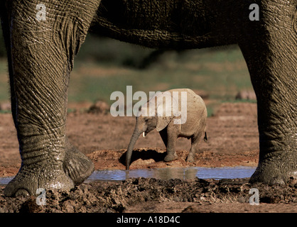 Elephant and baby - Stock Photo