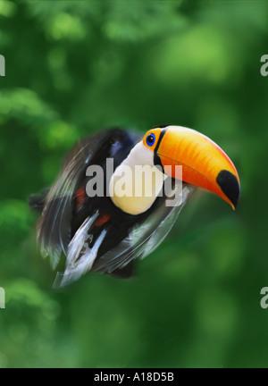 Toucan in flight