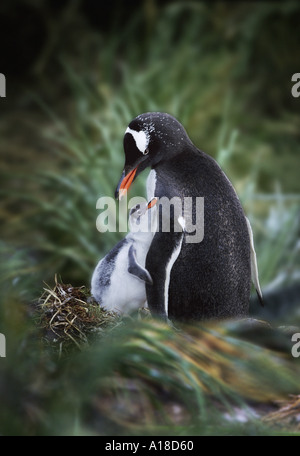 Gentoo penguin mother and chick South Georgia Island - Stock Photo