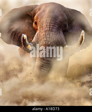 Charging bull elephant Savute Botswana - Stock Photo