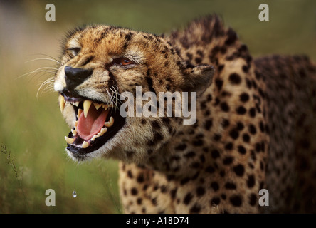 Snarling cheetah South Africa - Stock Photo