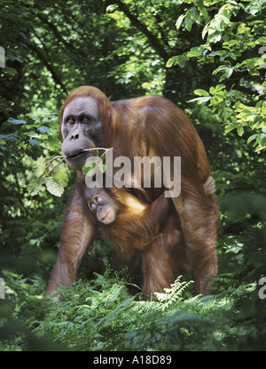 Sumatran orangutan mother and baby - Stock Photo