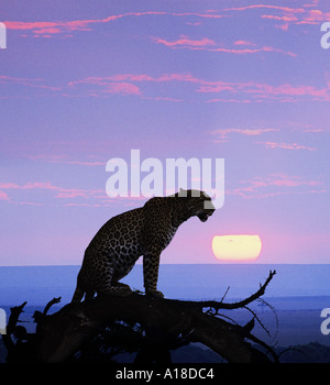 Leopard at sunset Masai Mara Kenya - Stock Photo