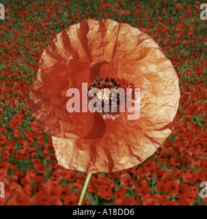 Single poppy with poppy field in background - Stock Photo