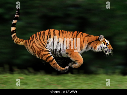Bengal tiger (Panthera tigris tigris), running - Stock Photo