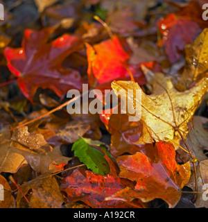 Multi-colored leaves - Stock Photo