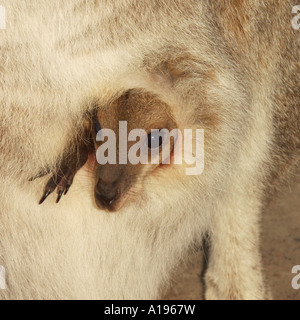 Young kangaroo in the wild in an Australian national park peers from its mother's pouch - Stock Photo