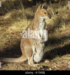 An Australian red necked wallaby with a young joey in her pouch in the wild among the forests of a wilderness national - Stock Photo