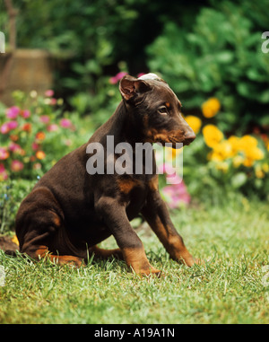 Dobermann puppy with docked ears - Stock Photo