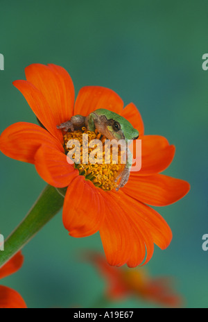 Cute Tree frog in green phase sits in the middle of an orange Tithonia sunflower close up in summer garden, Missouri - Stock Photo