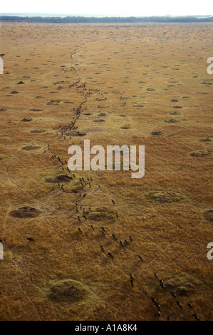 Aerial view of wildebeest migration seen from a hot air balloon - Stock Photo