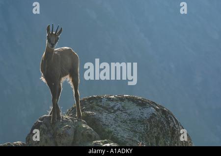 Chamois (Rupicapra rupicapra) standing on a ledge in backlight, Grimsel, Bern, Switzerland - Stock Photo