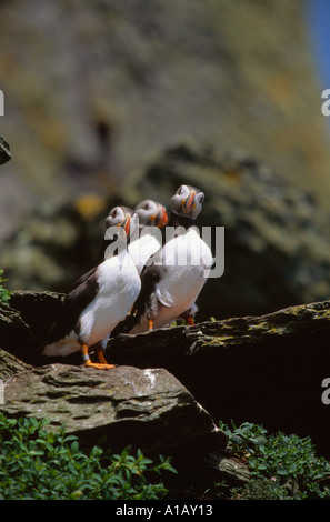 atlantic puffins standing on a rocky outcrop on an irish off shore island - Stock Photo