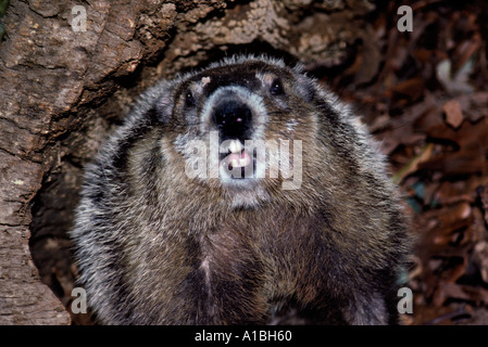 Woodchuck Groundhog, Marmota monax, assumes defensive posture inside her  hollow log Missouri United States USA - Stock Photo