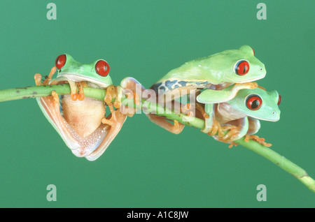 red-eyed treefrog (Agalychnis callidryas), climbing on twig - Stock Photo