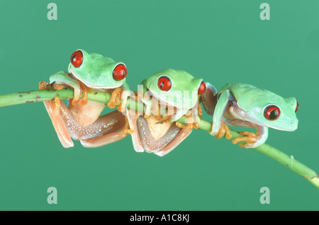 red-eyed treefrog (Agalychnis callidryas), climbing sitting on a twig - Stock Photo