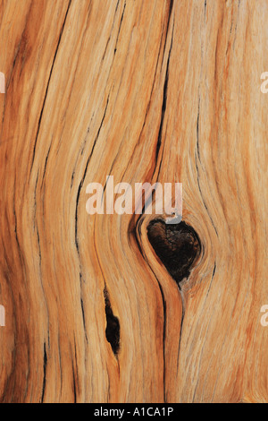 great basin bristlecone pine (Pinus longaeva), Detail of the profile of the trunk, oldest plant species of the world, - Stock Photo