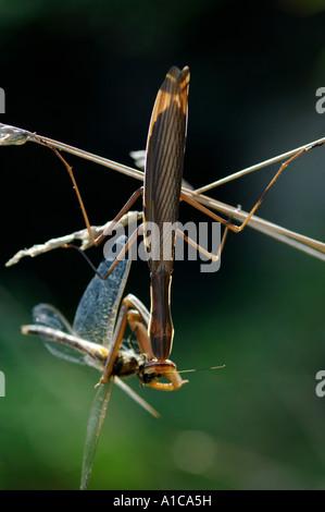 European preying mantis (Mantis religiosa), feeding a dragonfly, France, Corsica - Stock Photo