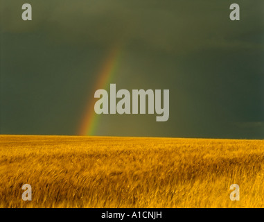 A rainbow coming out of dark clouds over a yellow wheat field. - Stock Photo