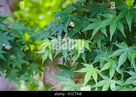 Japanese maple Acer palmatum leaves, Hakone Gardens, Saratoga, California, United States of America - Stock Photo