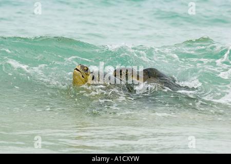 Green Sea Turtles mating in surf (Chelonia mydas)  Floreana Island, Galapagos ECUADOR - Stock Photo