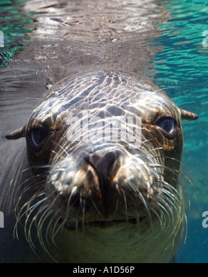 nu1874. Galapagos Sea Lion, Zalophus wollebaeki, underwater portrait. Galapagos, Pacific Ocean. Photo Copyright - Stock Photo
