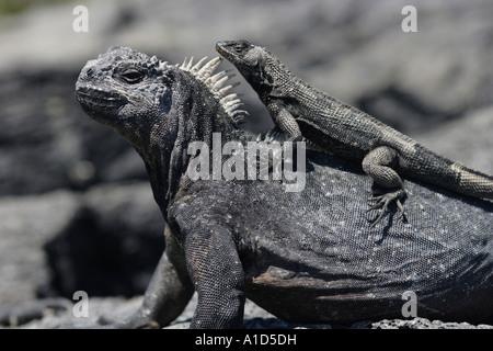nu71974. Marine Iguana, Amblyrhynchus cristatus, with lava lizard standing on top. Galapagos. Photo Copyright Brandon - Stock Photo