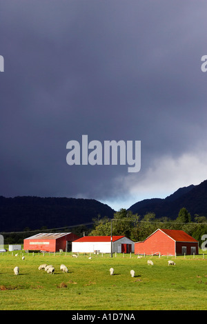 Old Farm Buildings and Sheep near Fox Glacier West Coast South Island New Zealand - Stock Photo