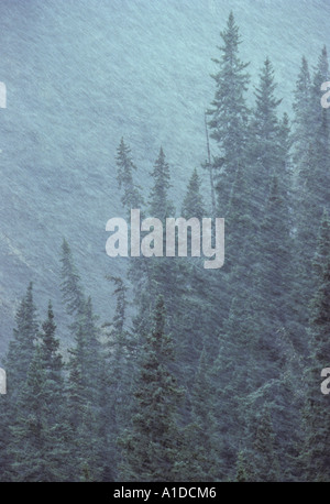 White spruce evergreen trees in a snowstorm - Stock Photo
