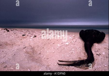 Oiled Socotra Cormorant (Phalacrocorax nigrogularis) dead on  a beach during the Gulf eco disaster 1991 - Stock Photo