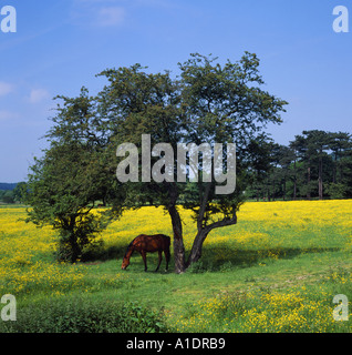 Horse in field of buttercups Duffield nr Derby UK Pictured in summer with dappled sunlight on its back 6x6 - Stock Photo