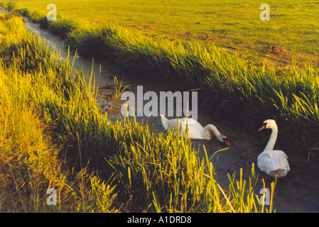 Swans in ditch or dyke between grassy fields lit by low evening sun - Stock Photo
