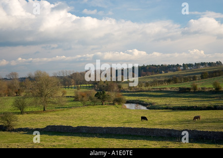 Cows graze by River Windrush Swinbrook Cotswolds Oxfordshire UK - Stock Photo