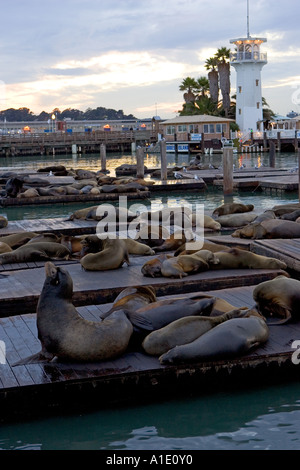 Californian Sea Lions rest on floating rafts at Pier 39 San Francisco United States of America - Stock Photo