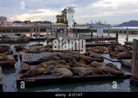 California Sea Lions rest on floating rafts at Pier 39 San Francisco United States of America - Stock Photo