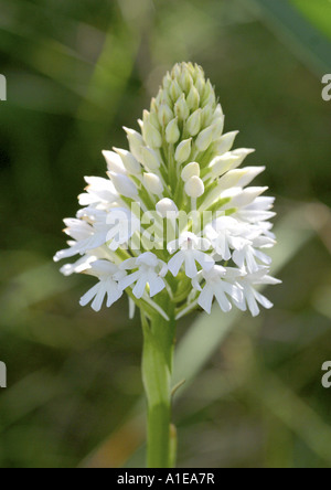 pyramidal orchid (Anacamptis pyramidalis), with white blossoms, Spain - Stock Photo
