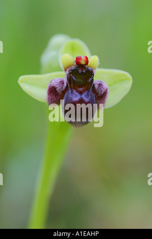 silky fowered ophrys (Ophrys bombyliflora), blossom, Spain - Stock Photo