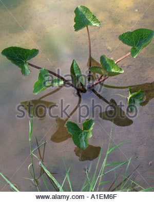 Caltha palustris (Kingcup Marsh Marigold) growing in shallow pond - Stock Photo