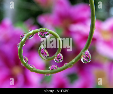 Clematis seen through beads of water on tendril of passion flower plant Oregon - Stock Photo