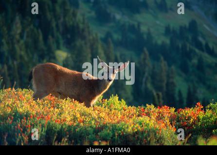 Blacktail or mule deer doe in alpine meadow in autumn - Stock Photo