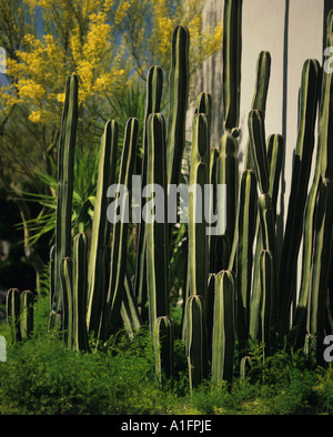Mexican fence post  growing above a bed of asparagus with a palo verde tree in the background designed by Richard - Stock Photo