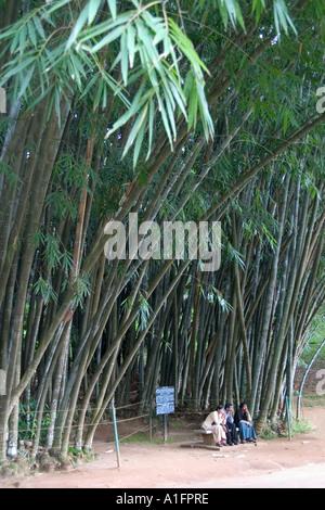 Giant Bamboo Peradeniya Botanical Gardens Near Kandy