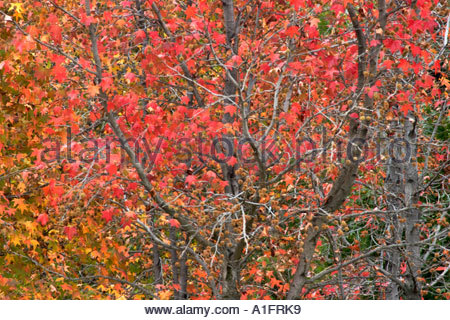Maple Trees in Fall Glendora California - Stock Photo