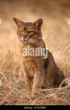 Abyssinian Cat Bobcats