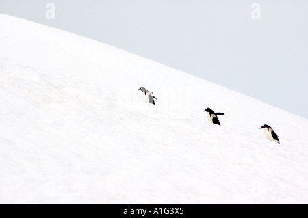 Three Gentoo penguins, Pygoscelis papua, marching in a line up a snow covered hill on the Antarctic Peninsula, Antarctica - Stock Photo