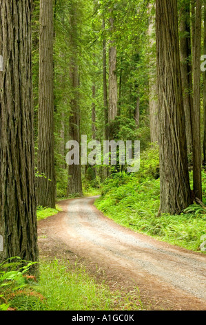 Redwood Forest, roadway, Prairie Creek State Park. - Stock Photo