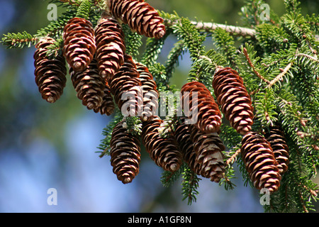 Pine cones hanging from tree in winter - Stock Photo