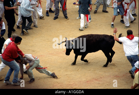 Young bulls are let among the crowd in Plaza de Toros after running of the bulls encierro ends Sanfermines festival - Stock Photo