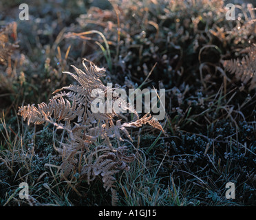 Sun shine glistening on Frosty Ferns and Heather on a cold Autumn Morning in The New Forest Hampshire UK Europe - Stock Photo
